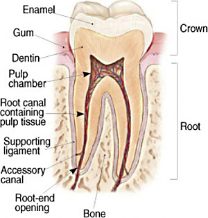 Root Canal Therapy – White Plains Family Dental